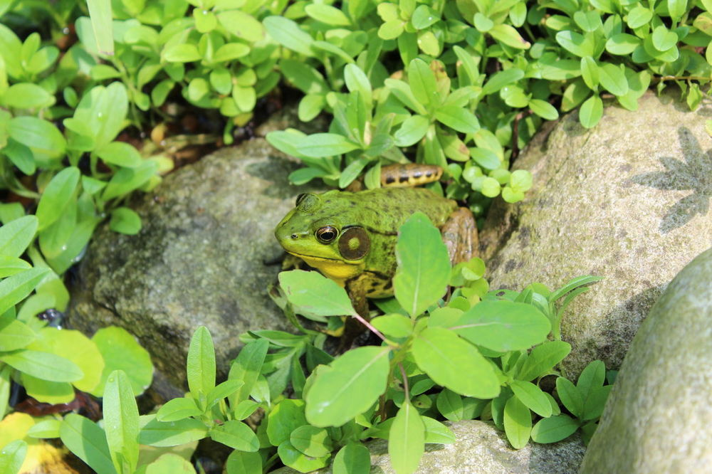 Frog Alertness Animal Themes Animal Wildlife Animals In The Wild Beauty In Nature Close-up Day Green Color Growth Hidden From View High Angle View Leaf Mammal Nature No People One Animal Outdoors Plant Reptile
