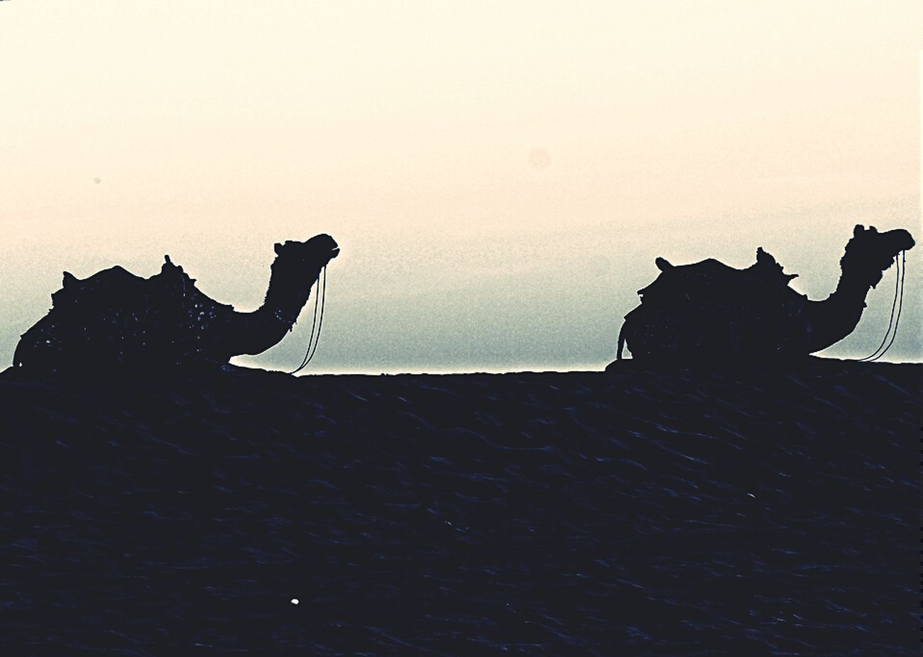 Rajasthan Tourism Camel Desert Desertsafari Camel Ride Amazing Experience First Eyeem Photo
