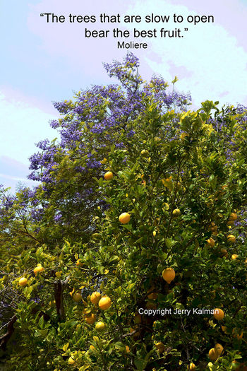 #Quotograph: #Moliere quote and a #Fallbrook scene with a jacaranda and lemon tree doing their thing in concert California Fallbrook Lemon Tree Molière Q Quotography Spring Bloom Spring Fruit