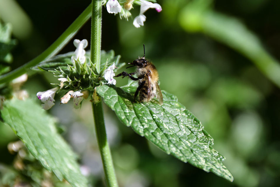 Honey bee on catnip flower Animal Themes Animals In The Wild Beauty In Nature Bee Blade Of Grass Botany Catnip Close-up Day Focus On Foreground Fragility Freshness Green Color Growth Insect Leaf Nature No People One Animal Outdoors Plant Pollination Pollinator Wildlife Zoology