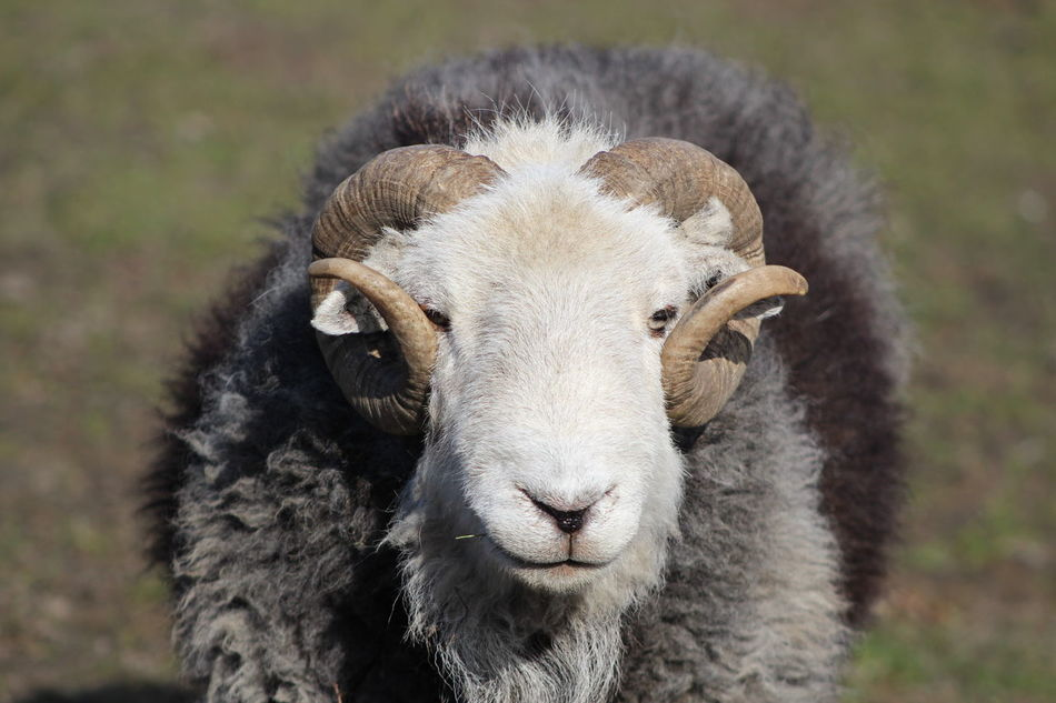 Beautiful stock photos of sheep, Animal Horn, Animal Themes, Day, Domestic Animals