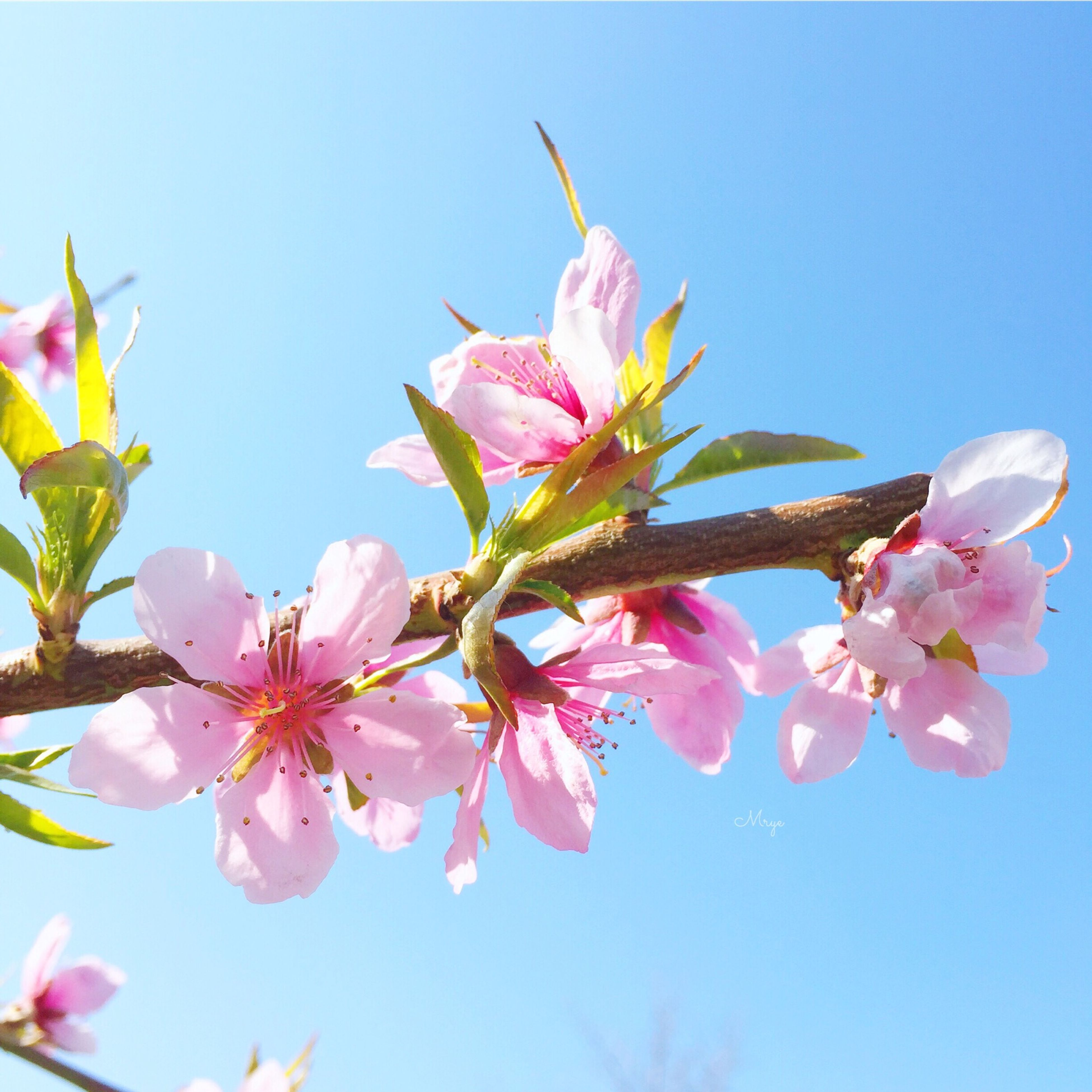 flower, freshness, fragility, growth, pink color, low angle view, clear sky, petal, beauty in nature, branch, nature, blossom, blooming, tree, cherry blossom, in bloom, flower head, cherry tree, close-up, springtime
