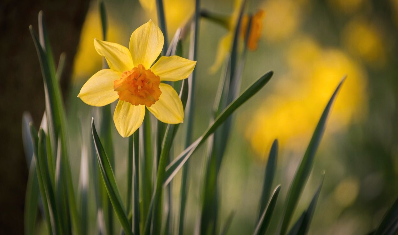 Spring time is here 🌼 Flower Fragility Beauty In Nature Nature Yellow Petal Growth Plant Blooming Flower Head Freshness Orange Color No People Field Close-up Outdoors Day Spring Daffodils Daffodil Spring Flowers Springtime