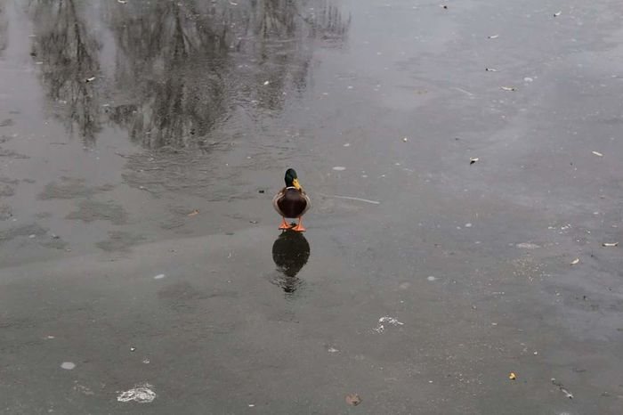 Duck Walk Reflection Animals In The Wild Duck Reflection Beauty In Nature Winter_collection Cold Temperature