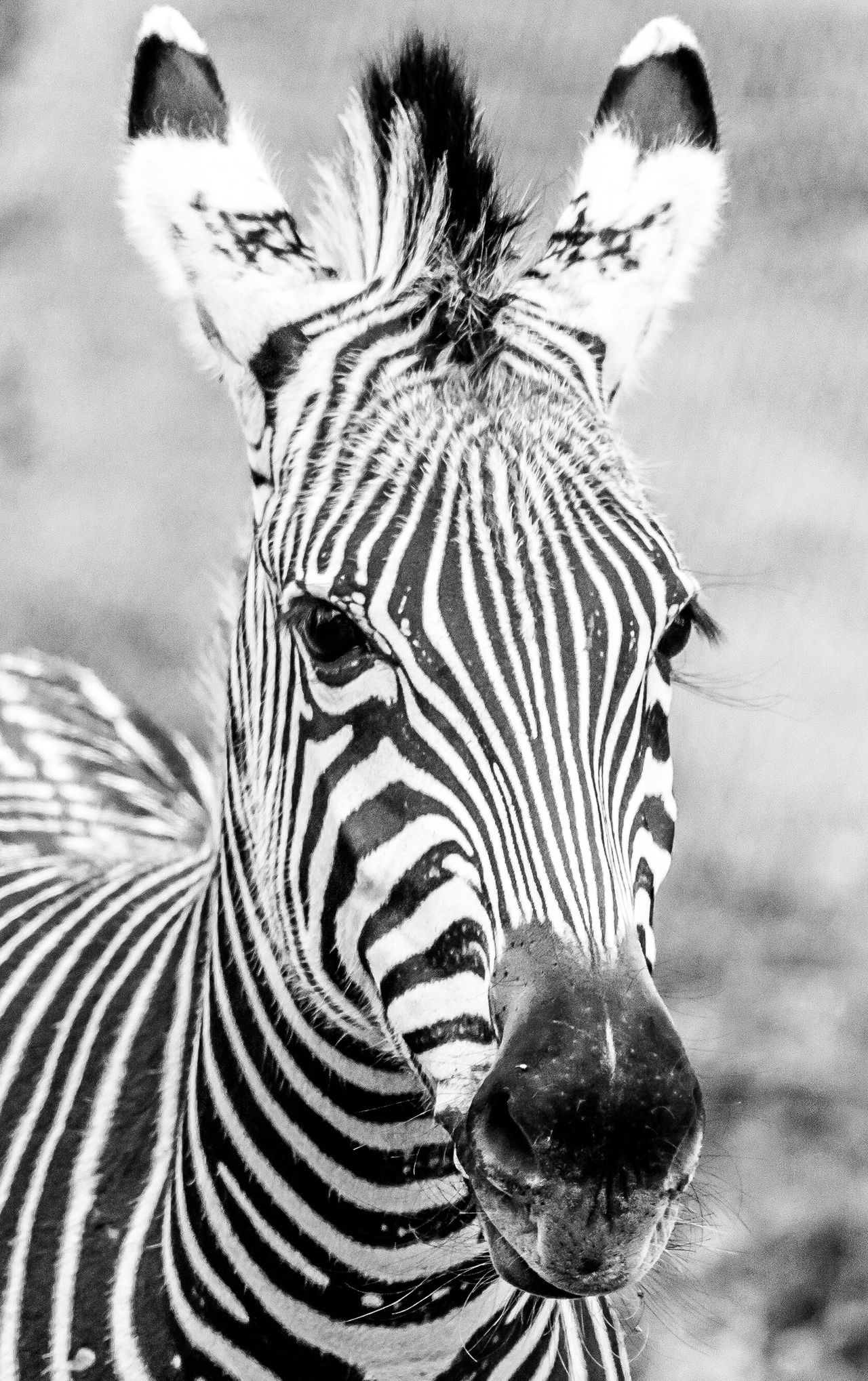 A Beautiful Zebra at LakeKariba Zimbabwe Wildlife Wildlife Photography Nature Nature_collection Safari Africa Black And White Blackandwhite Animal Photography