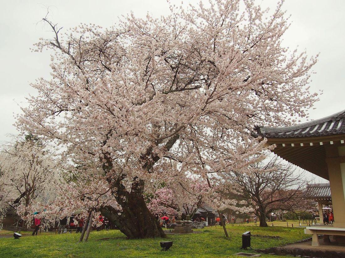Sakura Kyoto Japan Scenery Landscape_Collection Sakura2015 Daigoji Flowers Old Tree Cherry Blossoms 桜