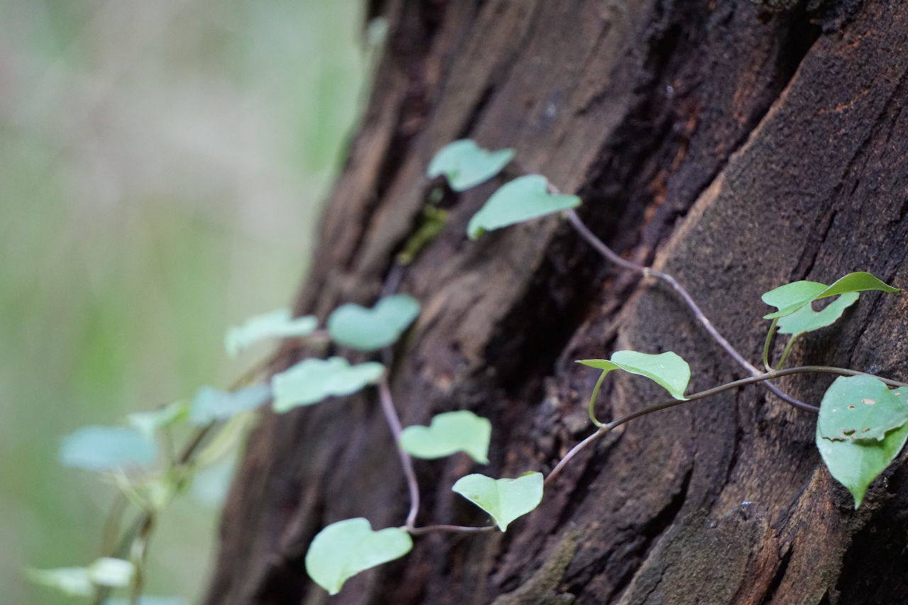 Foreground focus upon a vine growing up a tree trunk Beauty In Nature Close Up Close-up Contrast Countryside Day Environment Focus On Foreground Fragility Growing Growth Leaf Life Natural Natural Beauty Nature No People Outdoor Photography Outdoors Plant Tree Tree Trunk Vine Wood Wood - Material