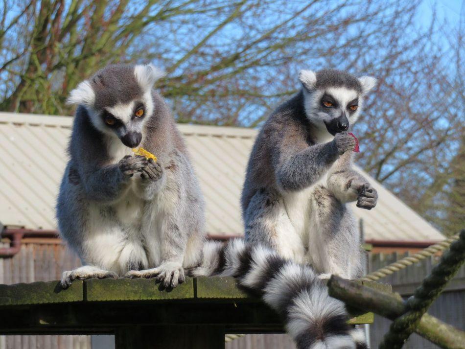 Lemurs enjoying lunch Animal Themes Mammal Animals In The Wild Ring Tailed Lemur Zoo Animals  Lowestoft EyeEmNewHere