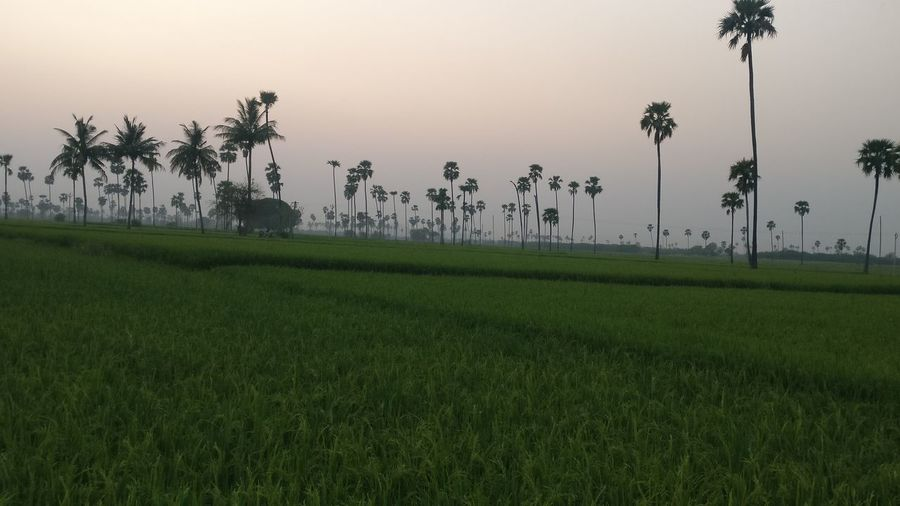 Tree Agriculture Nature Fog Sunset Scenics Sky Growth Tranquility Outdoors Rural Scene Landscape Social Issues No People Beauty In Nature Grass Rice Paddy Day EyeEmNewHere