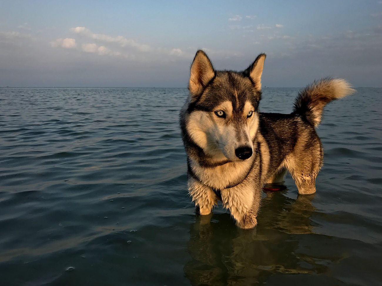 Dog Pets Domestic Animals Animal Themes Water One Animal Portrait Sea Siberian Husky No People Outdoors Nature Sky
