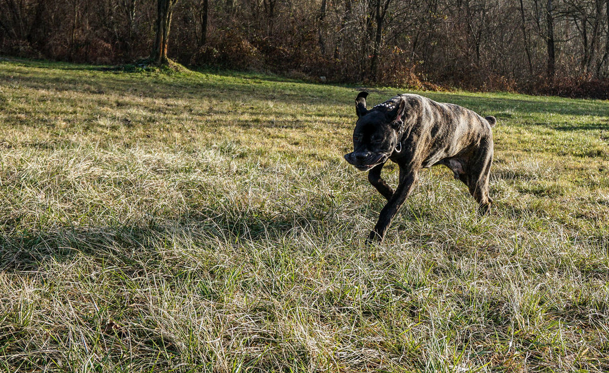 Active Active Dog Animal Themes Big Dog Cane Corso Daily Walk Day Domestic Animals Fast Fast Dog Fast Dogs Field Field Grass Grass Mammal Mastiff Nature Nature No People One Animal Pets Playing Dog Playing With My Dog Running