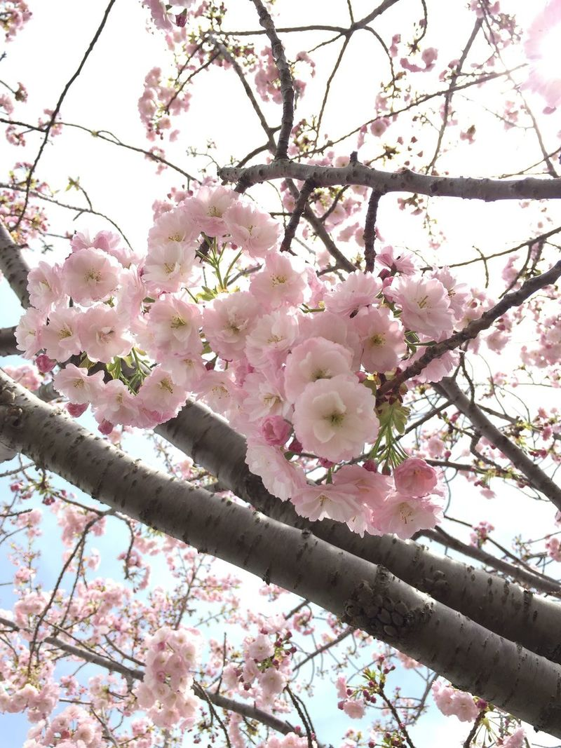 晴れている間に Flower Pink Color Nature Beauty In Nature Blossom 桜 Loveさくら祭り