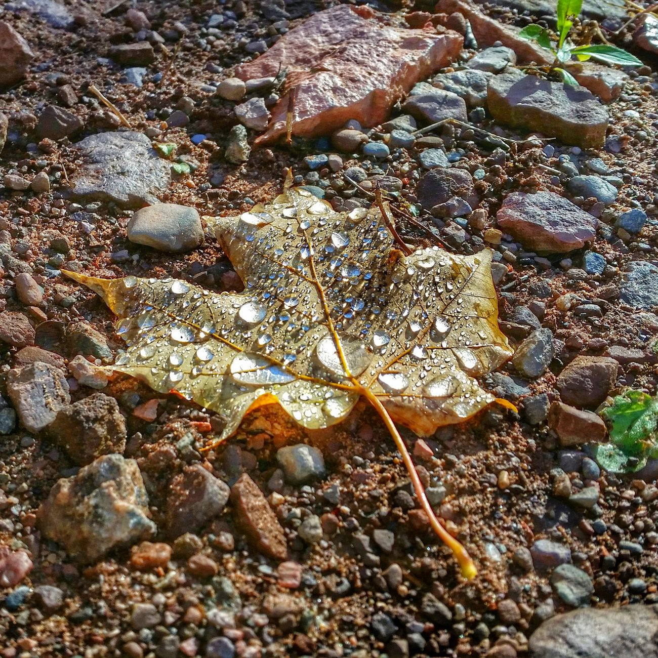 Early morning autumn walk. Mapleleaf Autumn Leaves Watet Droplets