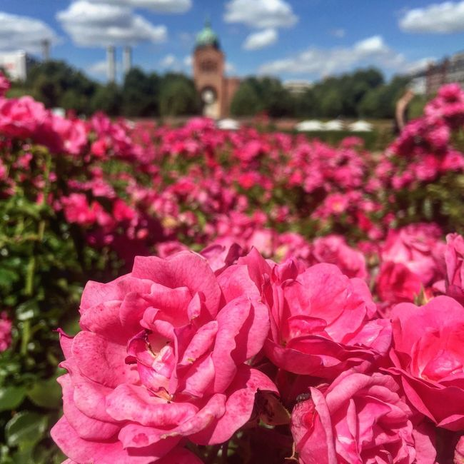 Pink Roses Focus Summer Berlin