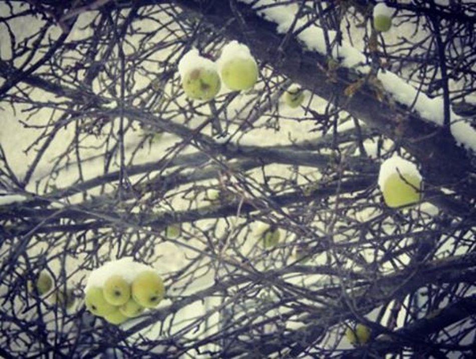Āboliem ir sniega cepurītes 🍏❄ Apples have snow hats 🍏❄ Ziema Winter Sniegs Snow Aboli Apple Cepure Hat Riga Riga Latvija Latvia Latvijasdaba Naturephotography Nature Daba Koks Koki Abele White Album Trees Appletree Appletrees It's Cold Outside Showcase:January