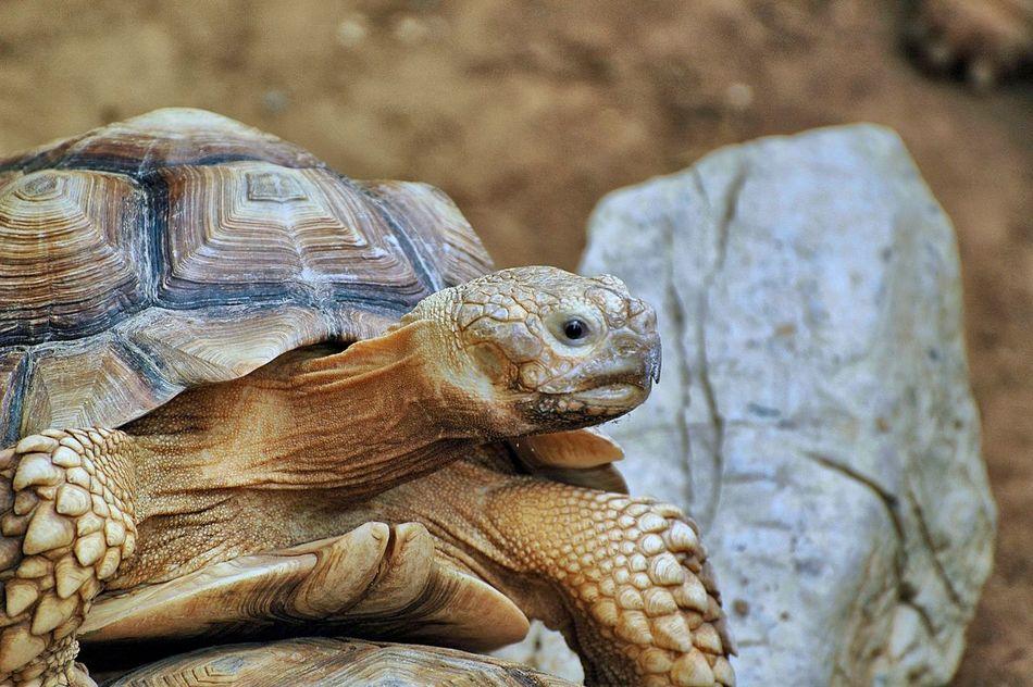 Beautiful stock photos of turtle, Amphibian, Animal Behavior, Animal Shell, Animal Themes