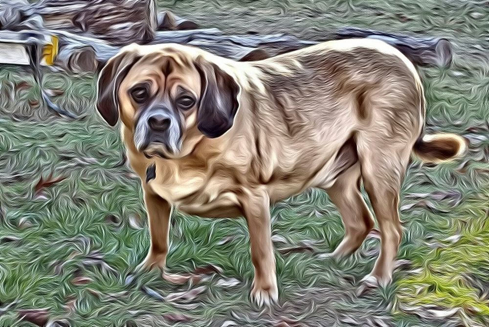 My puggle Roscoe Dog❤ Dog Love Outdoors Brown Eyes Furry Friends My Furry Friend Lovemypuggle Puggle Pugglelife