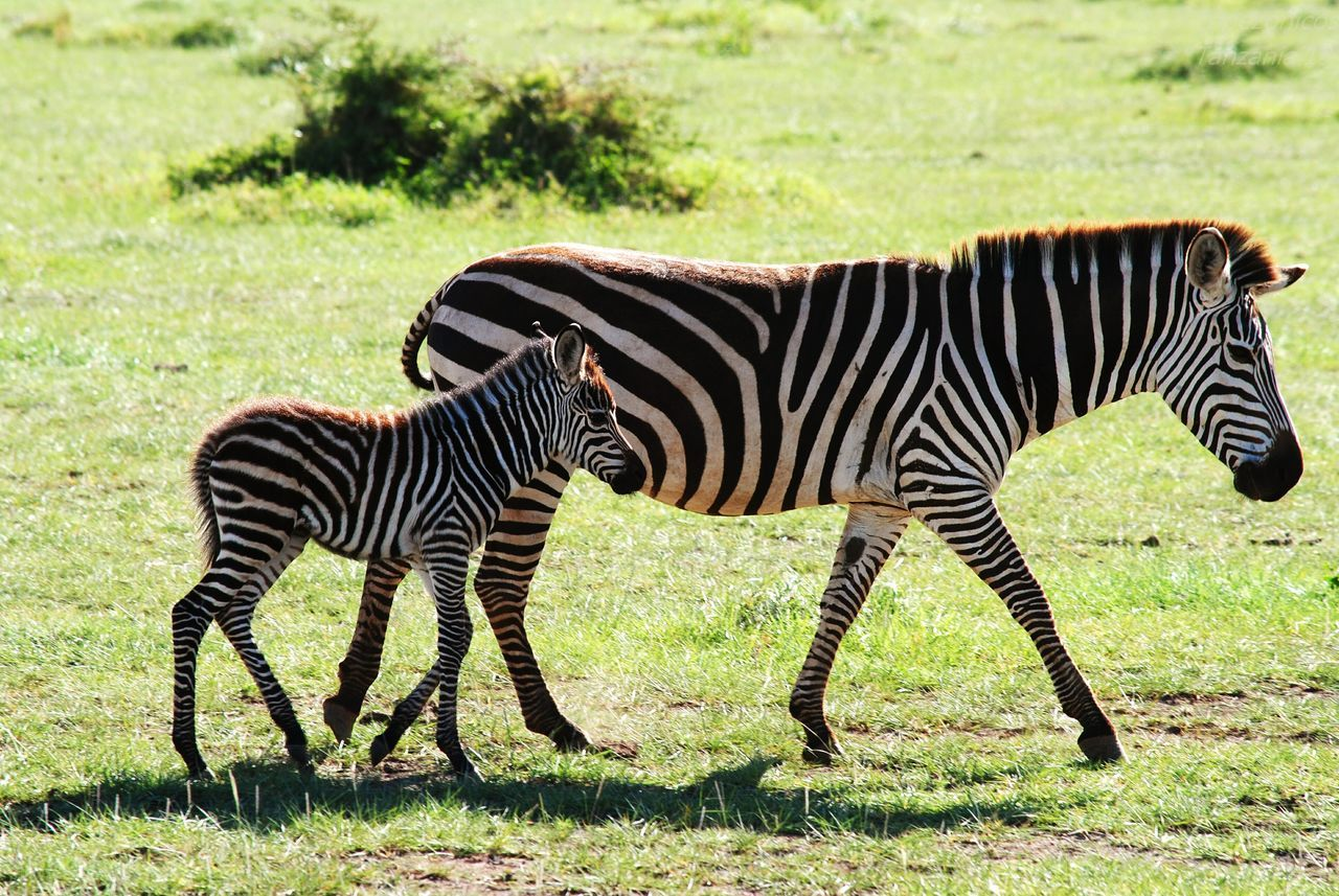 Ngorongoro Crater Zebra Family Nikkor 55-300mm Lens