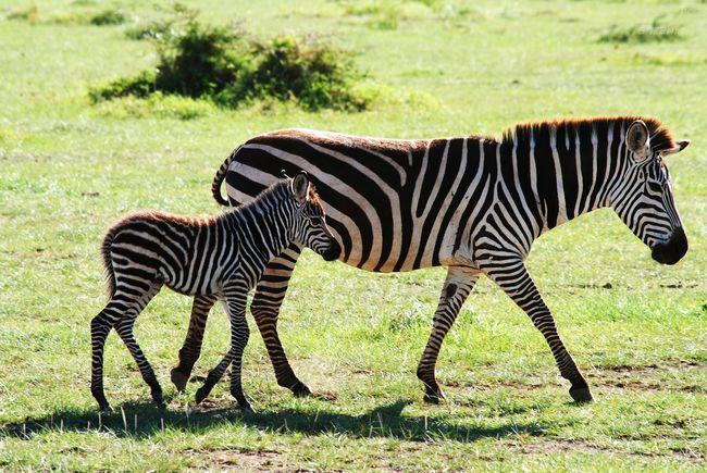Ngorongoro Crater Zebra Family Nikkor 55-300mm Lens