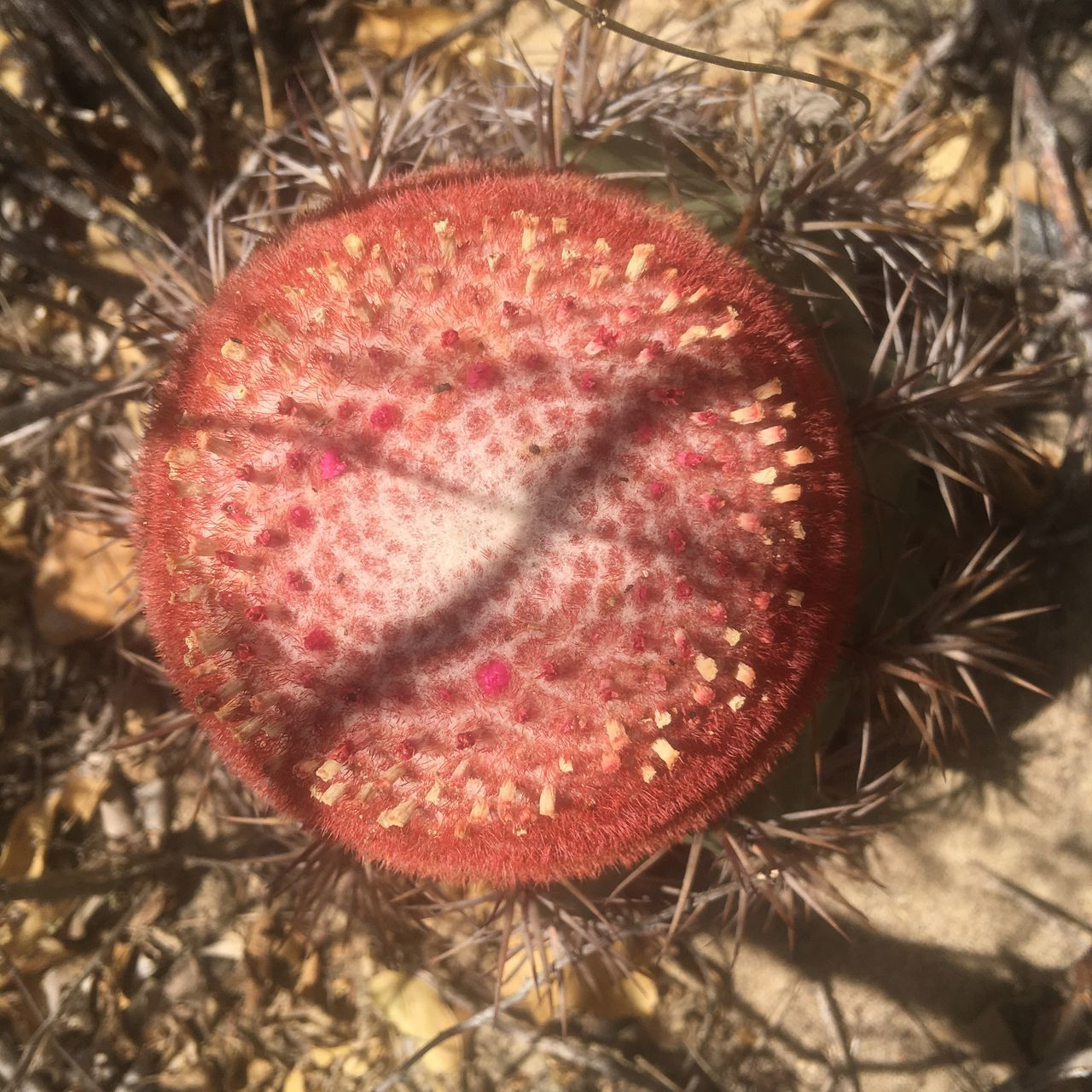 Beautifully Organized First Eyeem Photo Pattern Pieces Fractals Cactus Flower Cactus Melocactus Melocactus_bahiensis