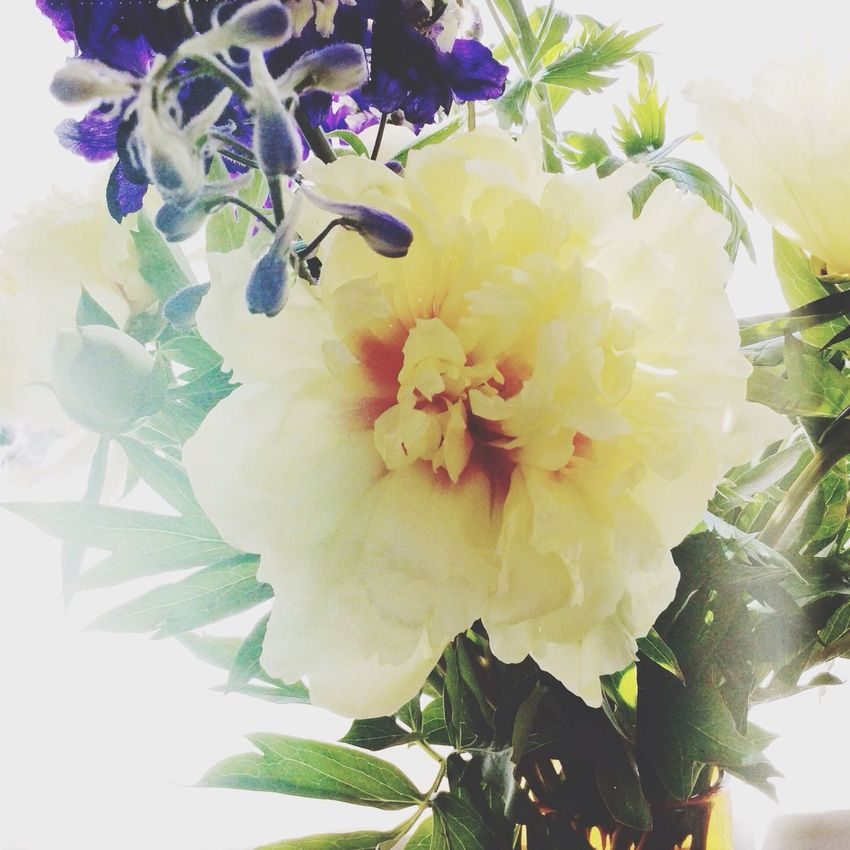 Yellow Flower Peony  Flowers Summer