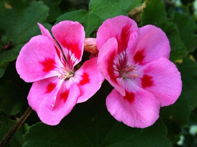 Planten Un Blomen Pink Color Pink Flower Flower Photography Flower Porn Flowerpower Naturephotography Naturelover Jopesfotos - Nature Jopesfotos - Bestefotos