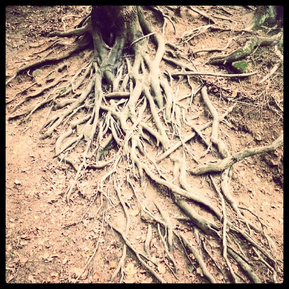 Tree Roots at Zelezna Studienka , Slovakia