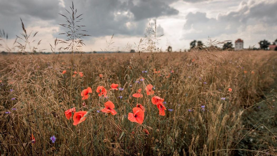Field Nature Growth Tranquility Flower Poppy Landscape No People Sky Plant Beauty In Nature Outdoors Cloud - Sky Day Rural Scene Grass Close-up Freshness
