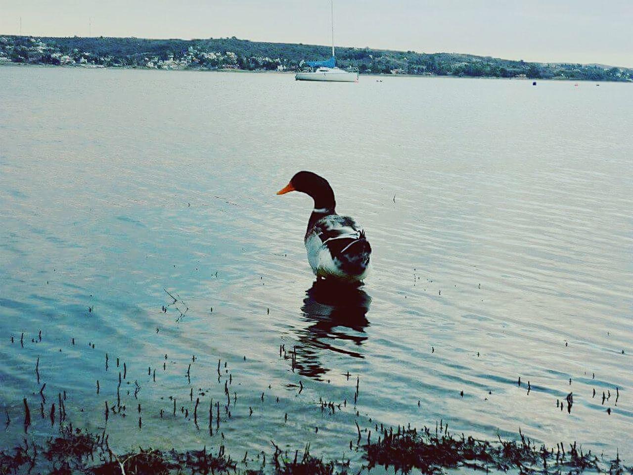 Nature No People Lake Black Swan