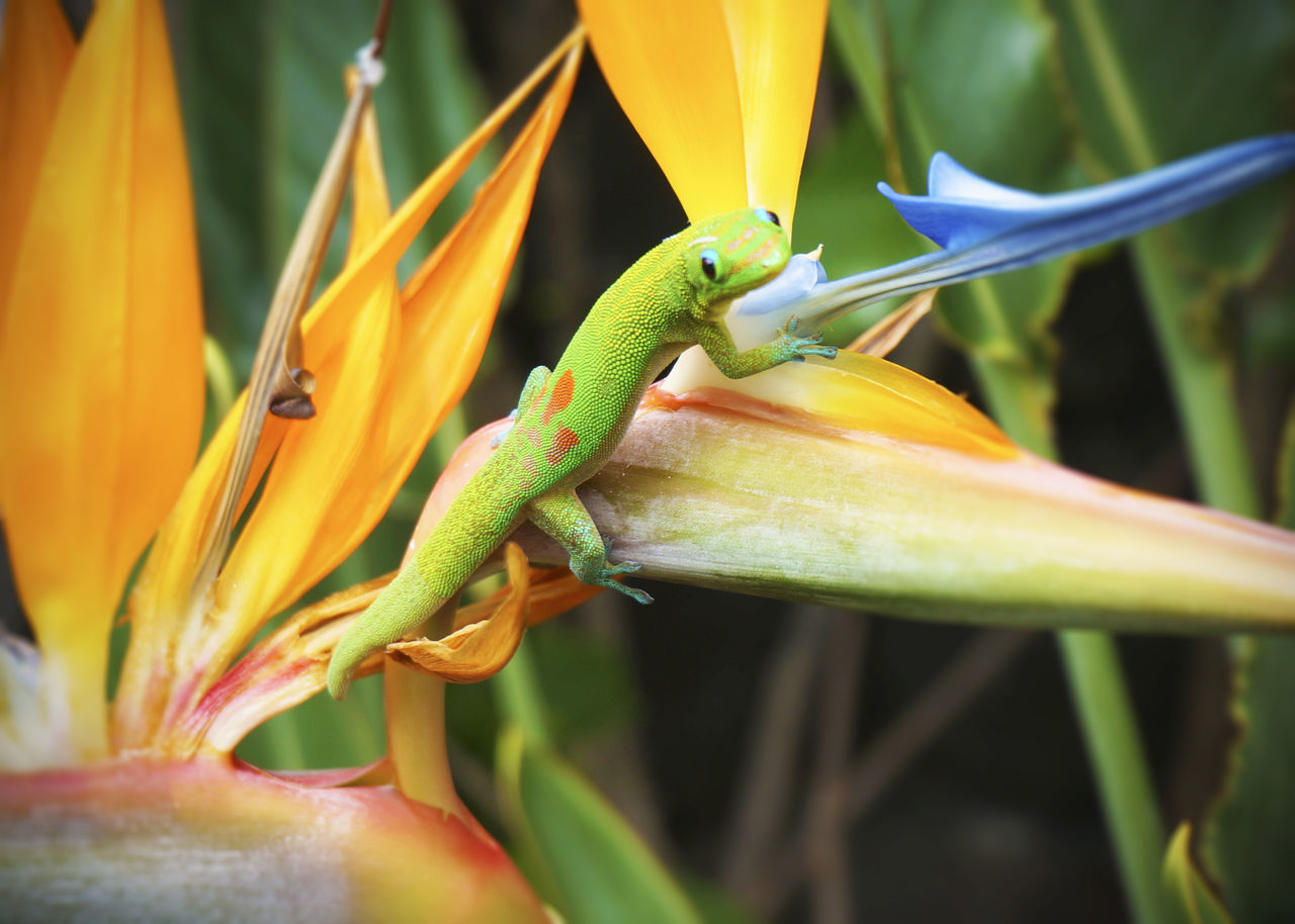 2013 Close-up Colorful Colors Cute Day Gecko Island Of Hawaii Nature One Animal Outdoors Plant Wild Yellow ゲッコー ハワイ ハワイ島 やもり 花