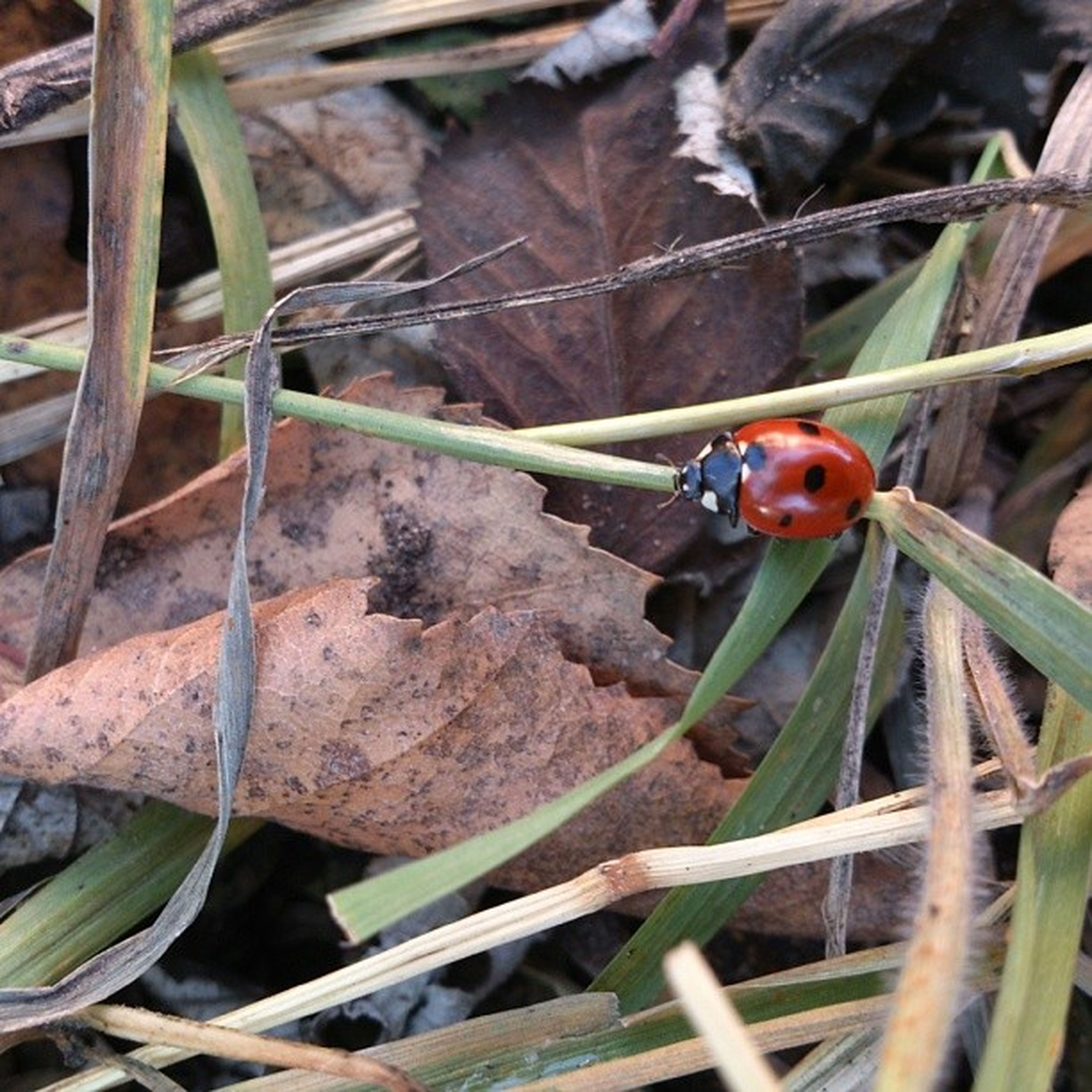 animal themes, insect, animals in the wild, one animal, wildlife, ladybug, leaf, close-up, plant, red, nature, focus on foreground, green color, selective focus, two animals, zoology, day, outdoors, beetle, high angle view