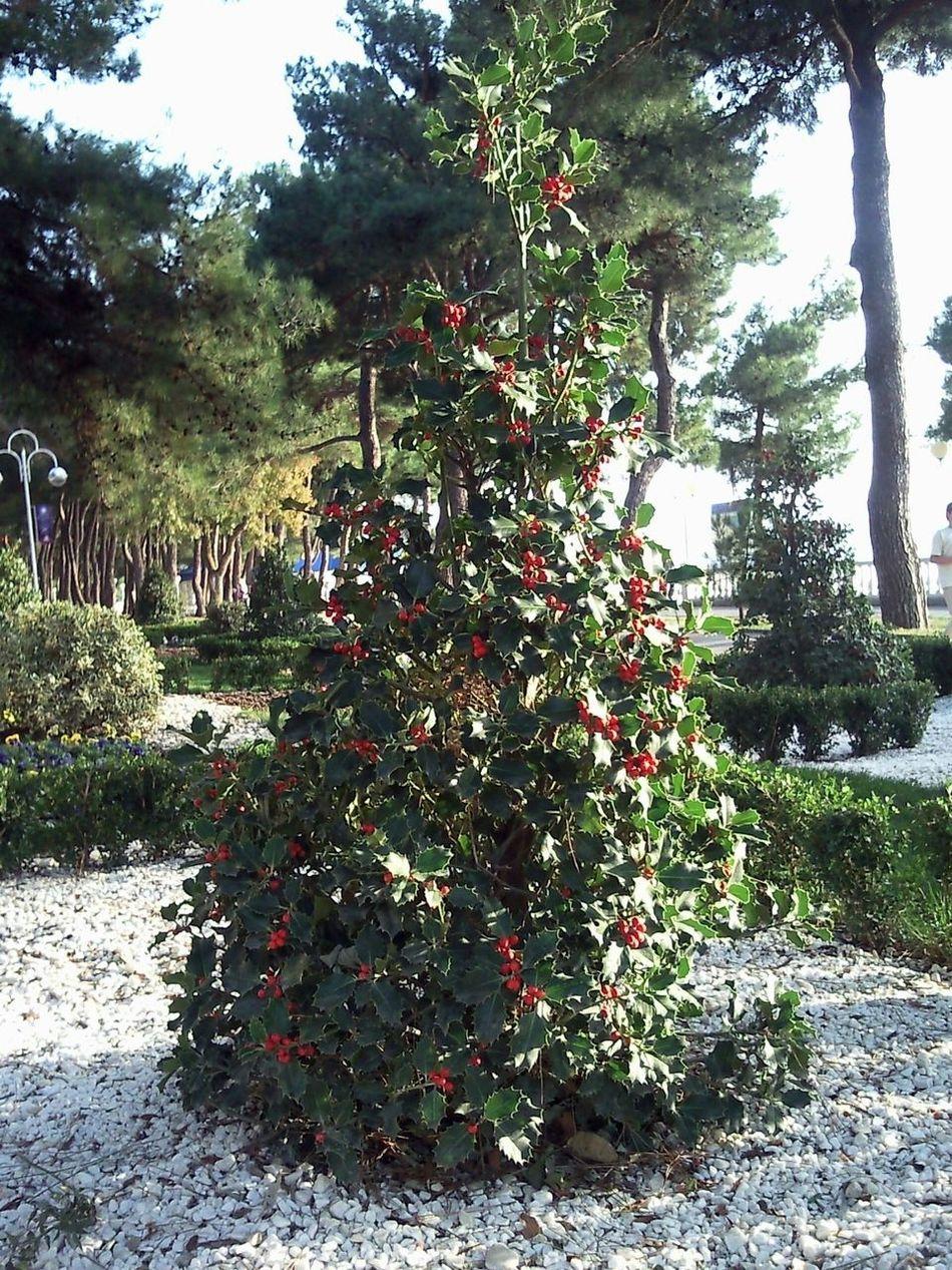 The associations with a Christmas Tree. Ассоциируется с новогодней ёлкой. Autumn October Automne Octobre осень октябрь Christmas Tree новогодняя ёлка Arbre De Noël