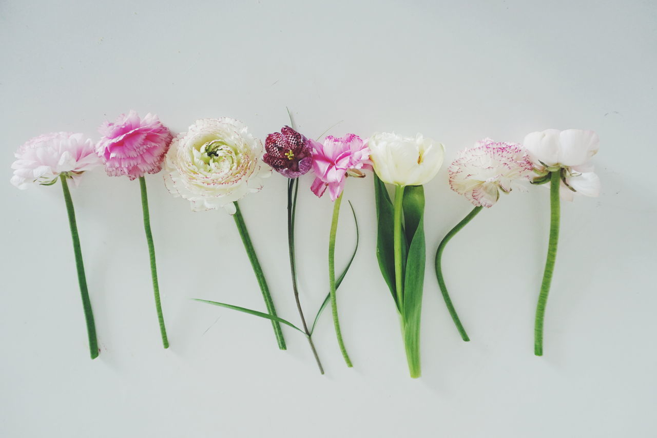 Spring flowers in a row on white background Beauty In Nature Blooming Close-up Day Flower Flower Arrangement Flower Head Fragility Freshness Growth Indoors  Nature No People Petal Pink Color Plant Spring Spring Flowers Spring Has Arrived Springtime White Background