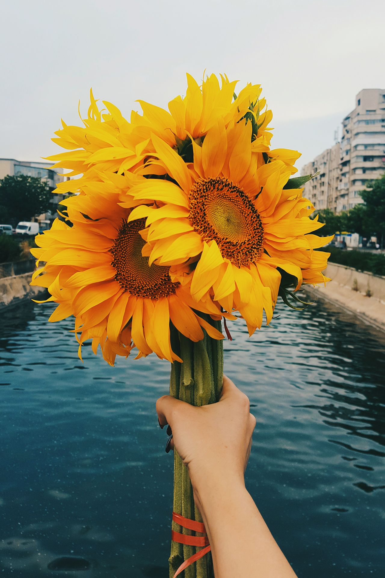 Beautiful stock photos of sunflower, Beauty In Nature, Bouquet, Canal, Clear Sky