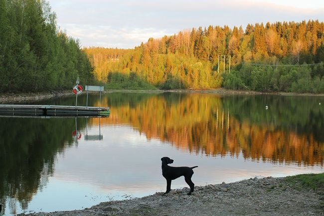 Quiet evening stroll with Birka Vorsteh Germanshorthairedpointer Reflection_collection Reflection Dog Nature_collection Open Gallery EyeEm Nature Lover Sweden-landscape Sweden Sweden Nature Hundar
