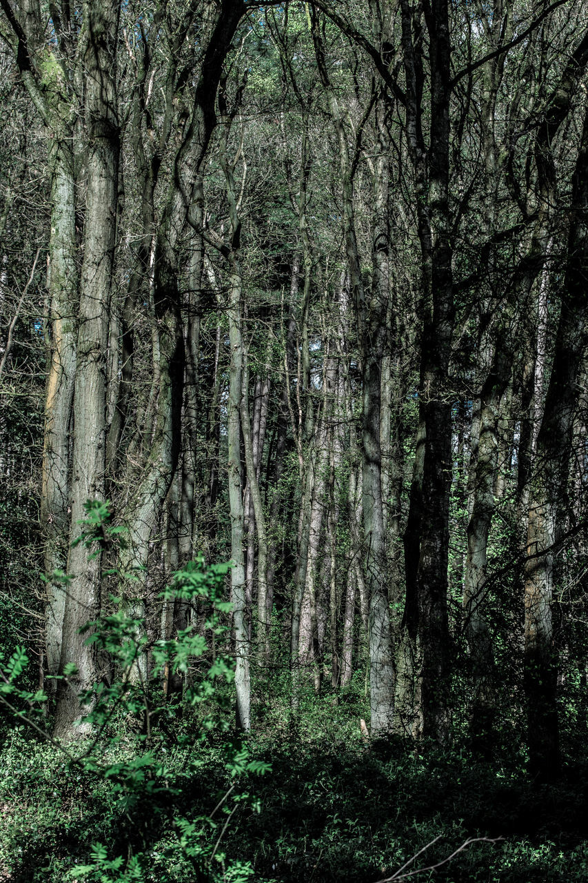 forest, tree, nature, tree trunk, no people, day, outdoors