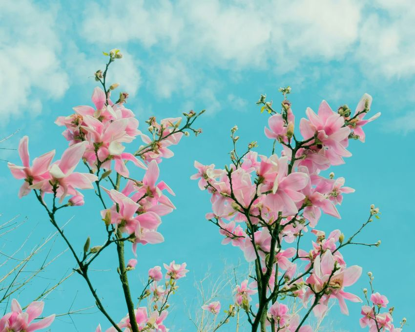 Pink Magnolia Low Angle View Springtime Beauty In Nature No People Tree Outdoors Freshness Blossom Branch Close-up Flower Head Growth Fragility Pink Color