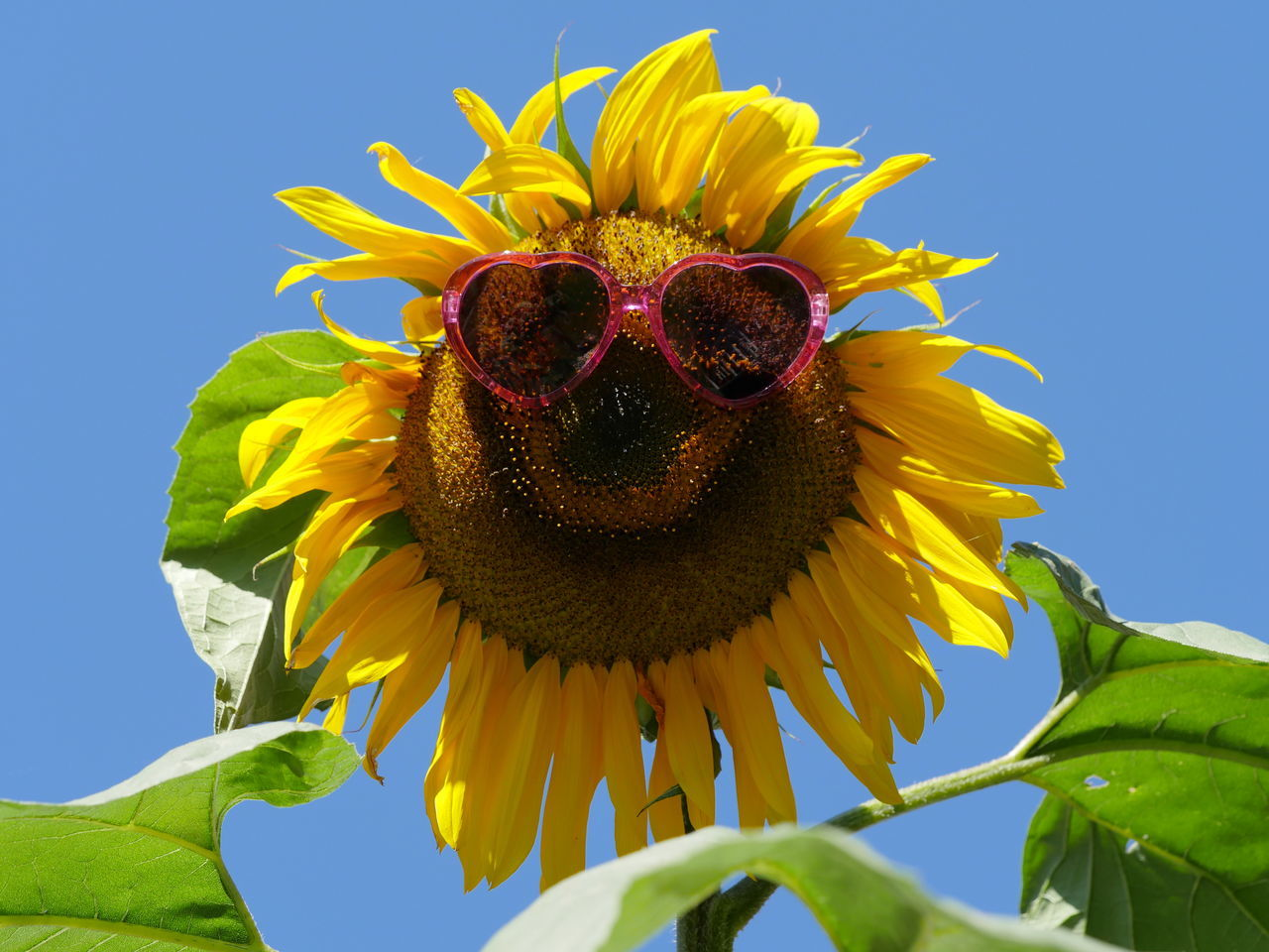 Sunflower Sunglasses Bright Colors Flowers Nature Outdoors Perspective Vibrant Color Macro Taking Photos No People Lookingup Close Up Creative Sky Close-up Clear Sky Funny Funny Faces Ladyphotographerofthemonth Art Is Everywhere