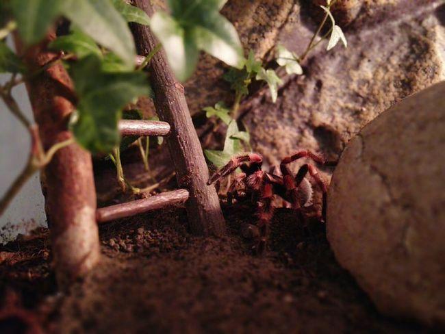 Neues von Marie, gerade am Fressen Spinne Marie - Brachypelma Smithi Brachypelma Vogelspinne Tarantula