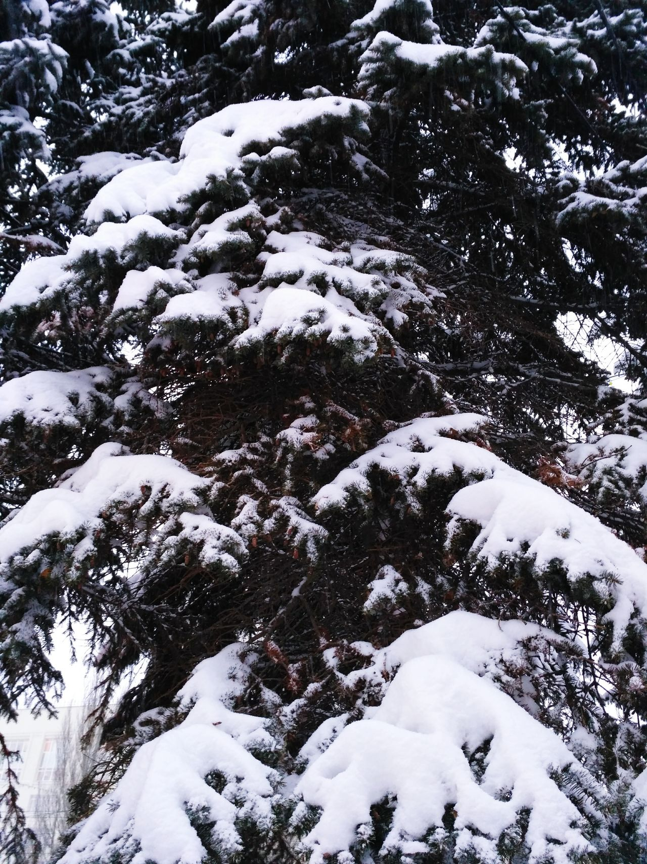 Snow Winter Cold Temperature Nature Beauty In Nature Tree Spruse Fir Branches Snowing Forest Forest Photography Forest Green Branches