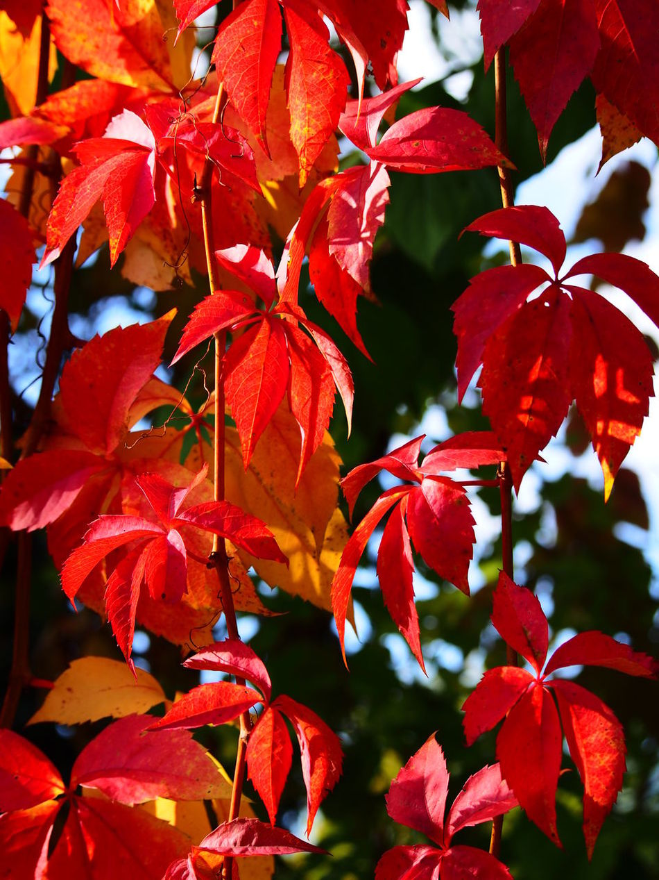Autumn Beauty In Nature Change Close-up Day Fragility Leaf Maple Leaf Nature No People Orange Color Outdoors Red