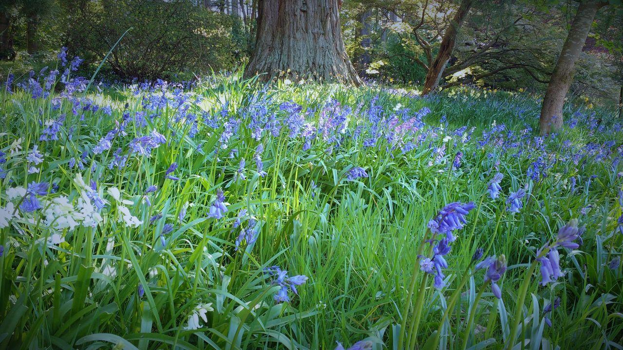 Blue Bluebell Wood Bluebells Carpet Of Flowers Flowers Grass Perennial Plant Scotland Springtime Wild Flowers Woods
