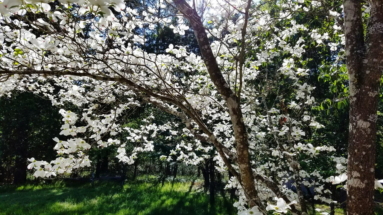 tree, flower, blossom, growth, branch, nature, apple blossom, beauty in nature, springtime, apple tree, fragility, white color, botany, day, outdoors, no people, low angle view, freshness, spring, scenics, sky, flower head