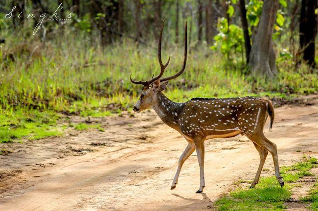 Deers Wildlife Bandhavgarh Jungle