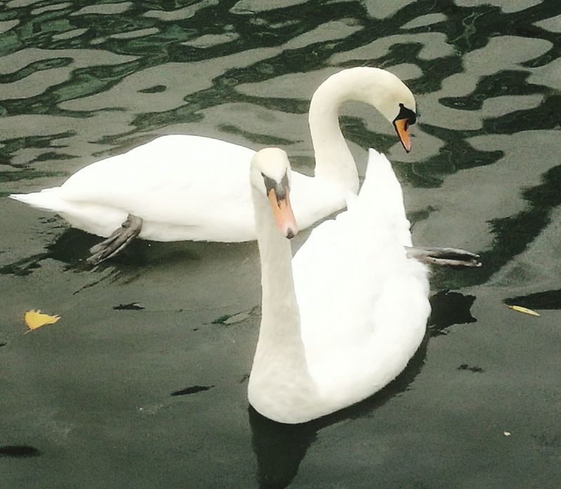 Swan Bird Animals In The Wild Swimming White Color Water Water Bird No People Nature Animal Themes Outdoors Day Animal Wildlife Canals And Waterways Swimming Animals In The Wild