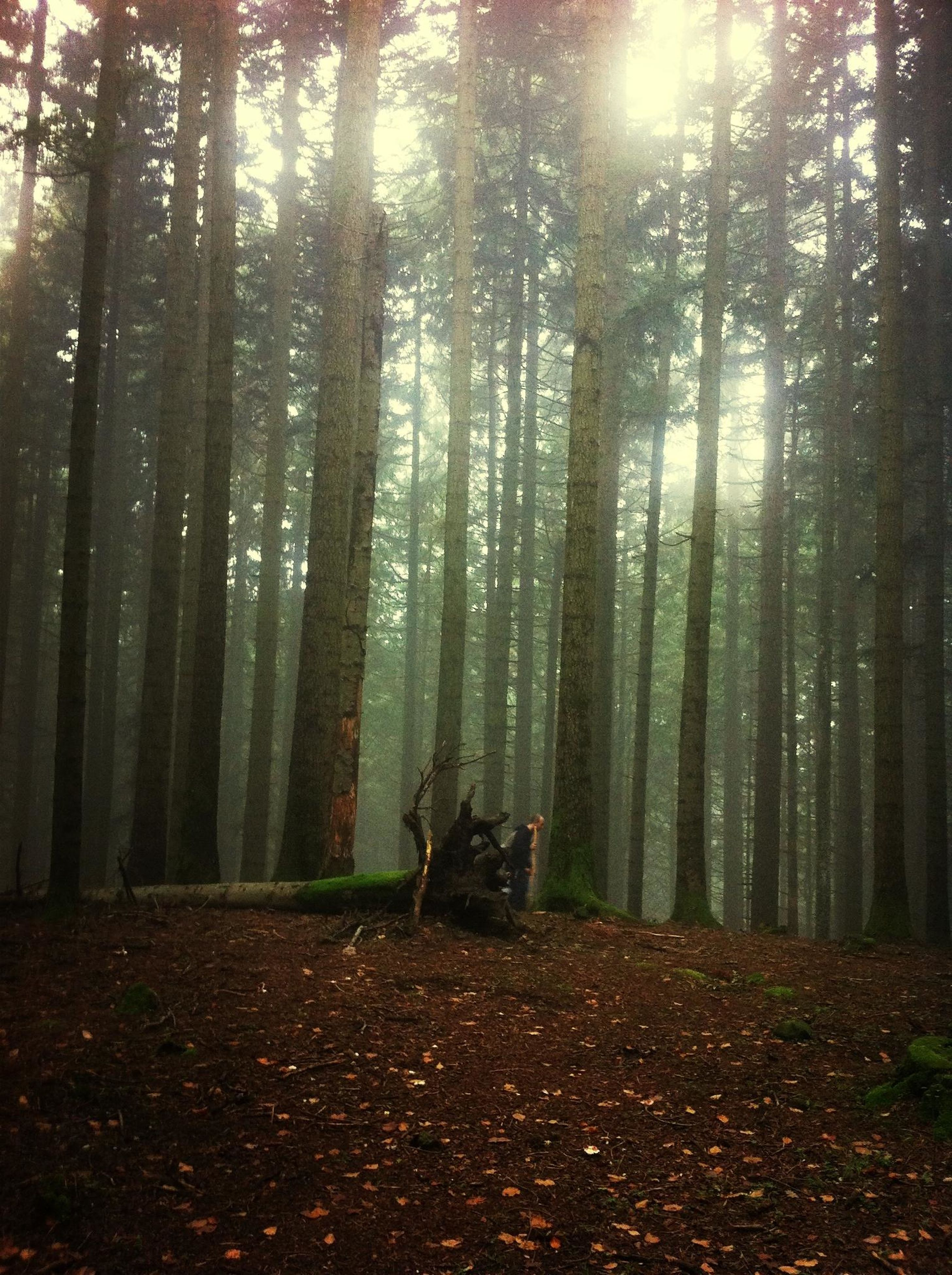 tree, forest, tree trunk, woodland, tranquility, tranquil scene, nature, growth, beauty in nature, scenics, non-urban scene, landscape, sunlight, outdoors, autumn, day, idyllic, the way forward, season, sunbeam