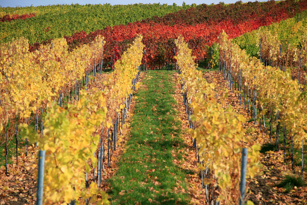 Autumnal vineyard Agriculture Autumn Fall Farm Field Foliage Green Color Growth Harvest Idyllic Landscape Leaf Leaves Nature No People Outdoors Plant Plantation Red Rural Scene Season  Vineyard Wine Winemaking Yellow