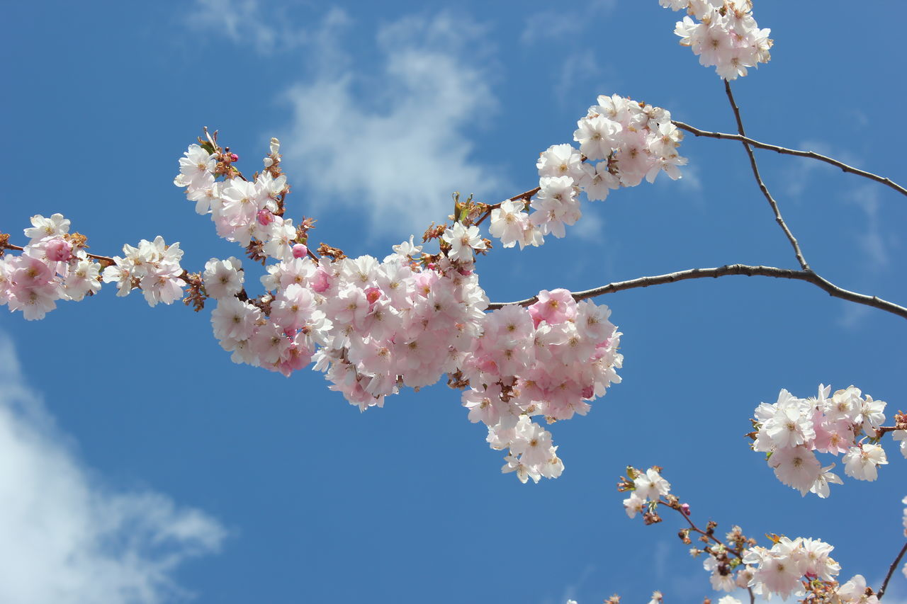 Beauty In Nature Blossom Botany Branch Cherry Blossom Cherry Tree Close-up Flower Fragility Freshness Growth Low Angle View Nature No People Outdoors Pink Color Sky Springtime Tree White Color Kungsträdgården, Stockholm Sweden