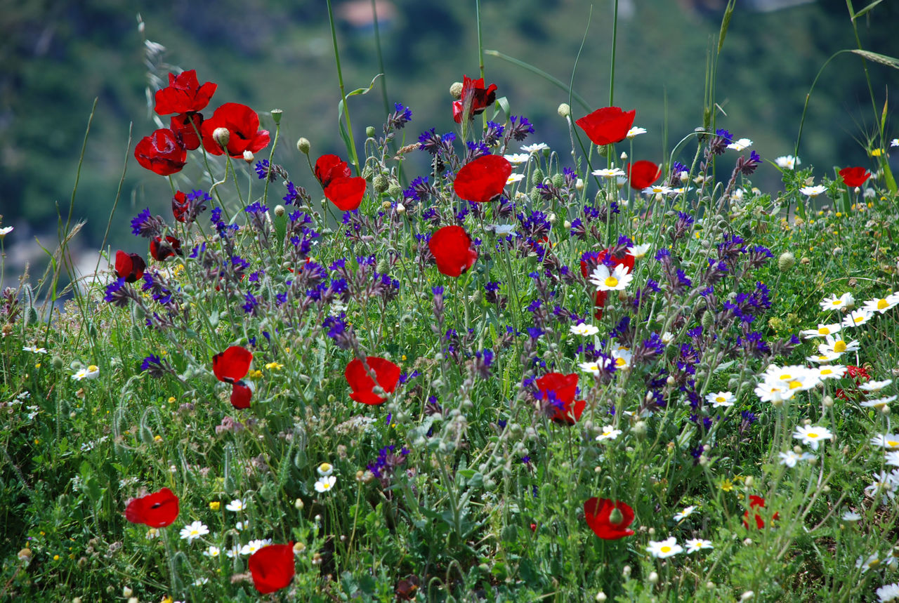 Wild poppies Beauty In Nature Blooming Close-up Day Flower Flower Head Fragility Freshness Growth Nature No People Outdoors Plant Poppy Red Spring Spring Flowers