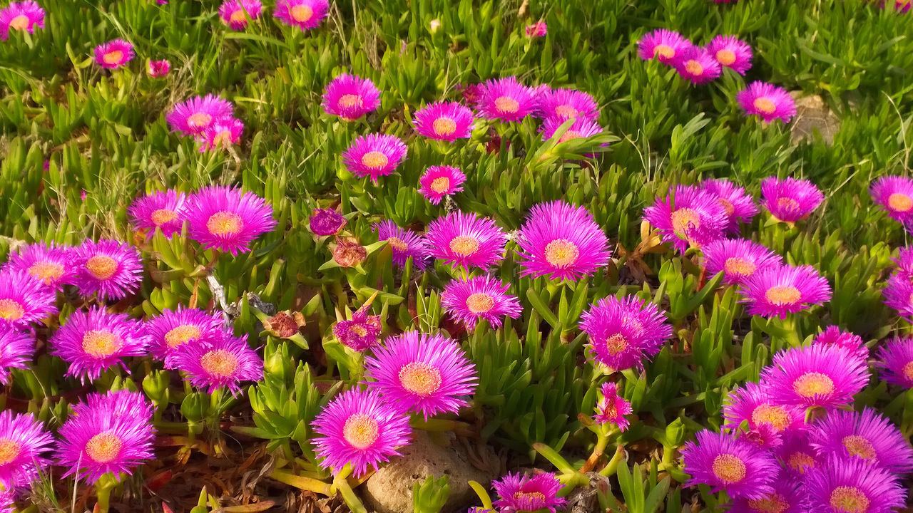 flower, growth, nature, plant, fragility, beauty in nature, field, no people, day, freshness, pink color, flower head, petal, outdoors, blooming, full frame, multi colored, close-up